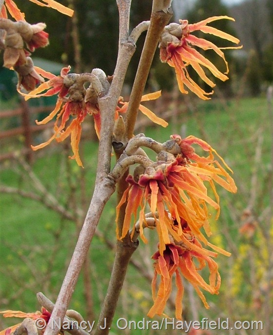 Hamamelis x intermedia 'Orange Encore' at Hayefield.com