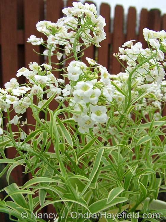 Lobularia maritima 'Frosty Knight' at Hayefield.com