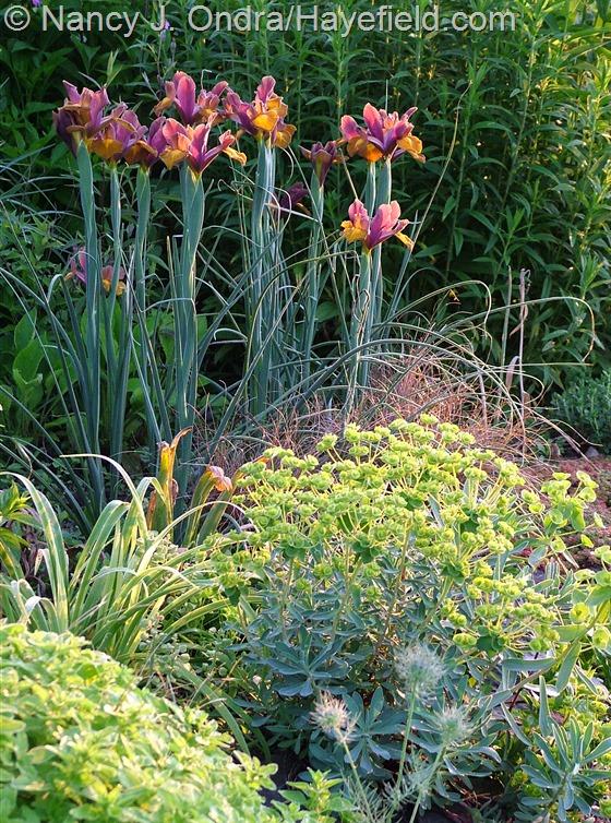 Dutch iris 'Lion King' with Euphorbia nicaaensis and Carex 'Toffee Twist' at Hayefield.com