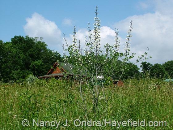 Baptisia alba in meadow at Hayefield.com