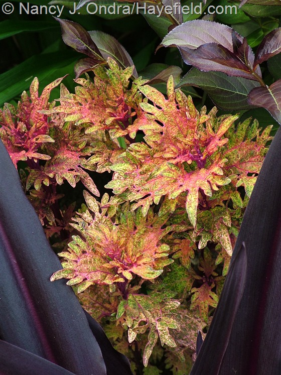 Coleus 'Limon Blush' with Eucomis comosa 'Oakhurst' and Weigela florida 'Bramwell' [Fine Wine] at Hayefield.com