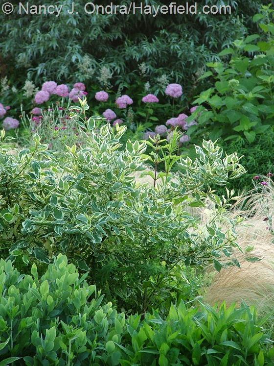 Cornus sericea 'Silver and Gold' with Baptisia sphaerocarpa, Rudbeckia fulgida, Stipa tenuissima and Hydrangea arborescens 'NCHA1' [Invincibelle Spirit'] at Hayefield.com