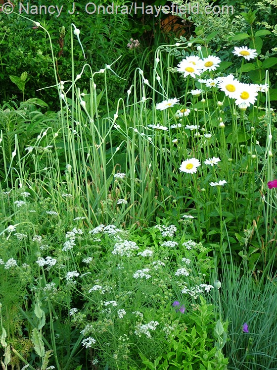 Garlic (Allium sativum) with Leucanthemum 'Becky' and Coriandrum sativum at Hayefield.com