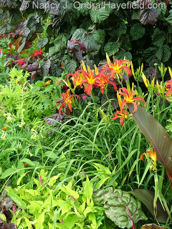 Hemerocallis 'Nona's Garnet Spider' at Hayefield.com