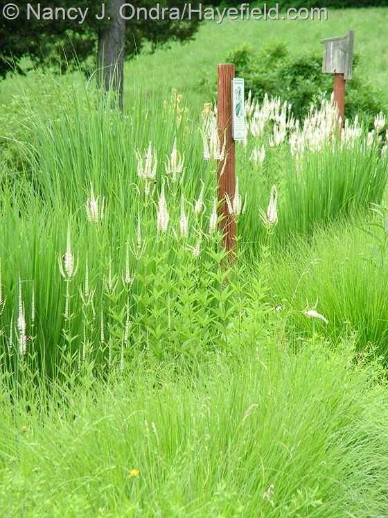 Veronicastrum virginicum with Panicum virgatum 'Northwind' and Pennisetum alopecuroides 'Cassian' at Hayefield.com