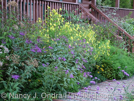 Helianthus 'Lemon Queen' with Vernonia noveboracensis at Hayefield.com