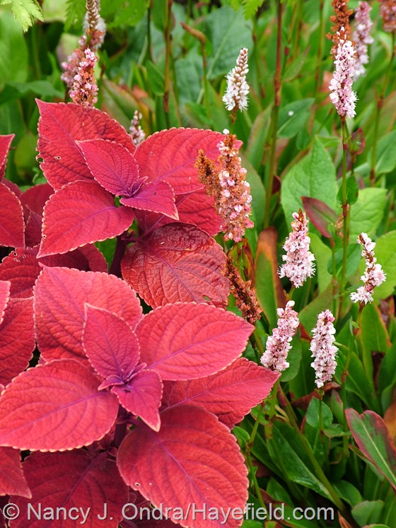 Solenostemon (Coleus) 'Keystone Kopper' and Persicaria affine at Hayefield.com