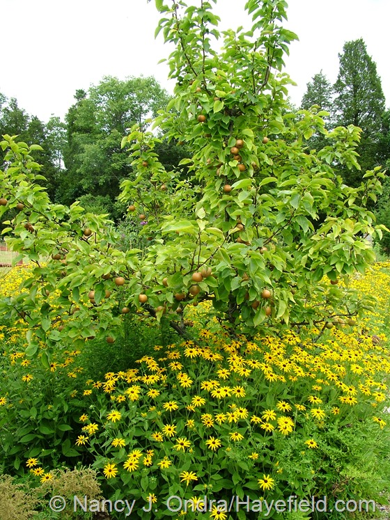 Asian pear and Rudbeckia fulgida var. fulgida at Hayefield.com
