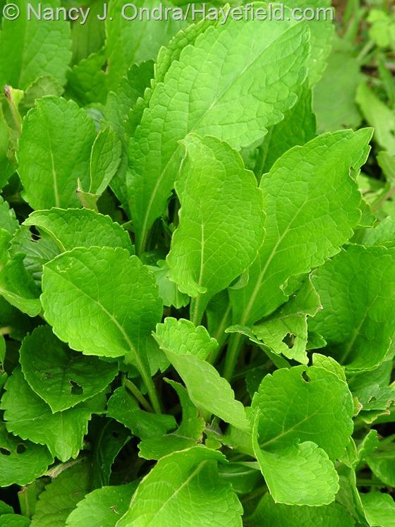Patrinia scabiosifolia in leaf at Hayefield.com