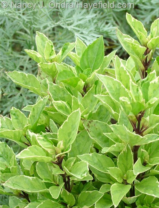 Ocimum x citriodorum 'Pesto Perpetuo' at Hayefield.com