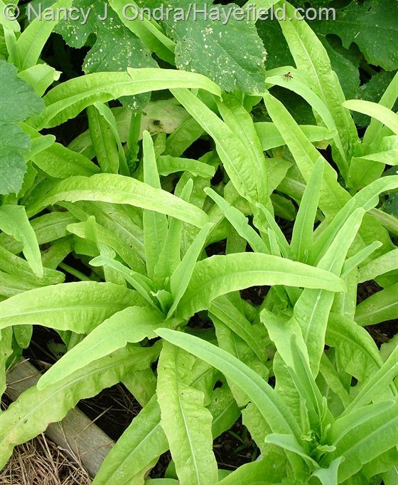 Stem lettuce (celtuce) [Lactuca sativa var. asparagina] at Hayefield.com