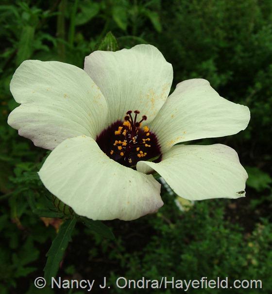 Hibiscus trionum at Hayefield.com