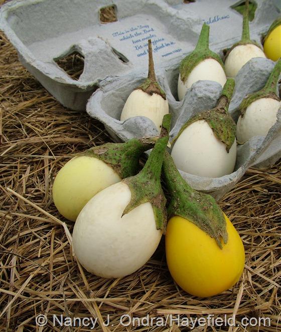 Solanum melongena 'White Egg' eggplants at Hayefield.com