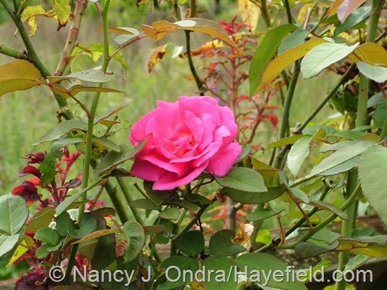 Rosa 'Zephirine Drouhin' with rose rosette at Hayefield.com