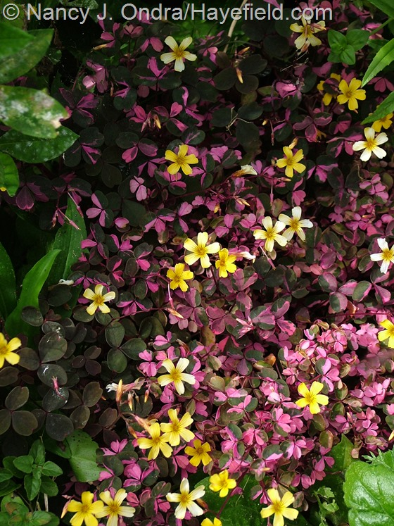 Oxalis 'Plum Crazy' at Hayefield.com