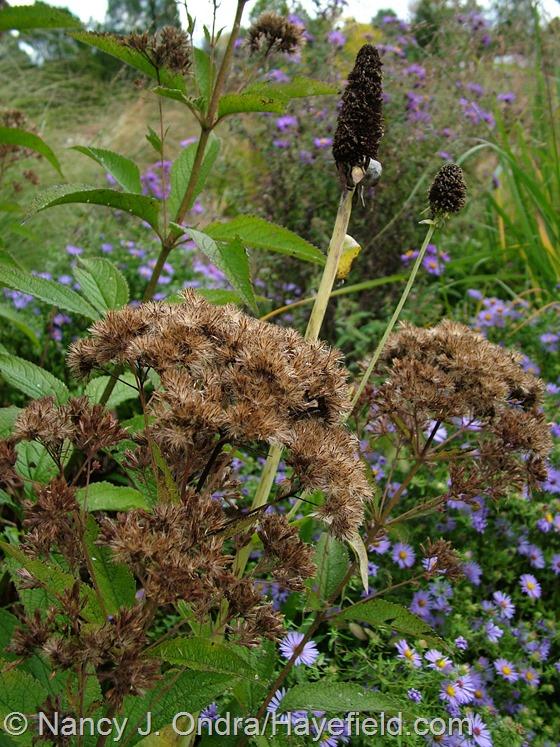 Eutrochium purpureum subsp. maculatum and Rudbeckia maxima seedheads at Hayefield.com