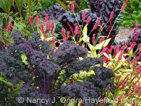 Kale 'Redbor' with Persicaria amplexicaulis 'Golden Arrow' at Hayefield.com