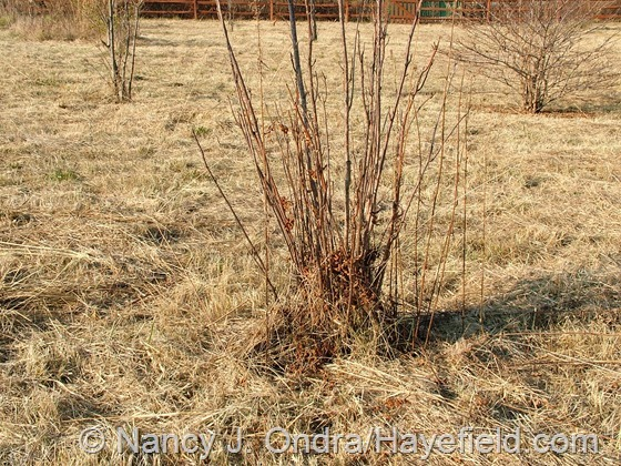 Toona sinensis in the meadow at Hayefield.com