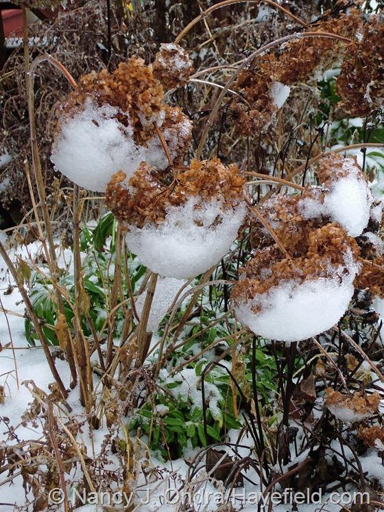 Hydrangea arborescens in the snow at Hayefield.com