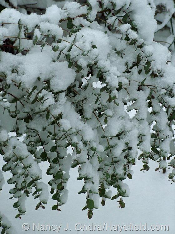 Eucalyptus gunnii 'Silver Drop' at Hayefield.com