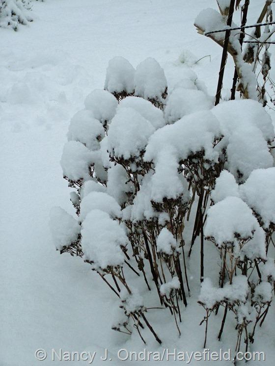 Sedum alboroseum 'Mediovariegatum' at Hayefield.com