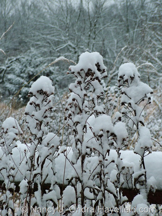 Aster tataricus in the snow at Hayefield.com