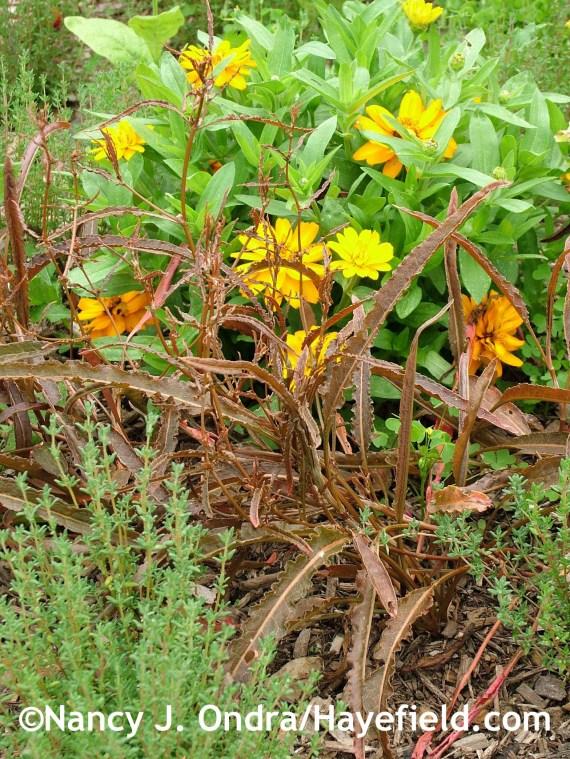 Rumex flexuosus with Thymus vulgaris and Zinnia 'Profusion Double Golden' at Hayefield.com