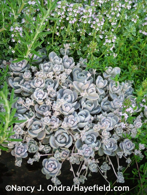 Chinese dunce cap (Orostachys iwarenge) with silver thyme (Thymus x citriodorus 'Argenteus') at Hayefield.com