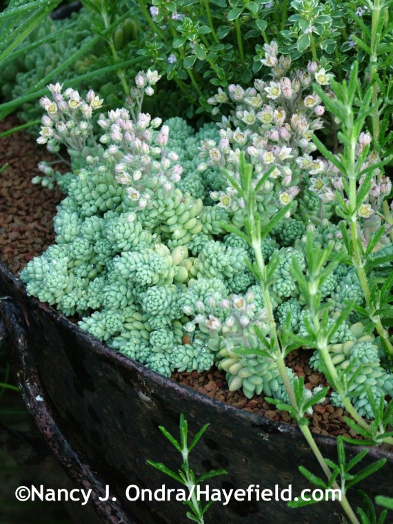 Sedum dasyphyllum 'Major' at Hayefield.com