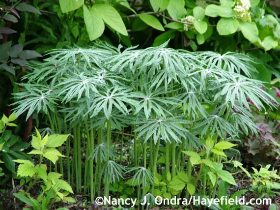 Syneilesis aconitifolia with Rubus idaeus 'Aureus' at Hayefield.com