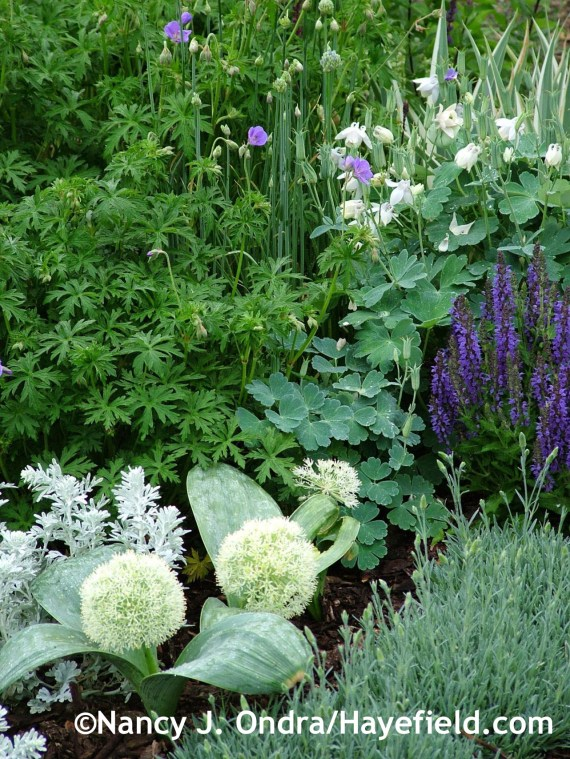 Allium karataviense 'Ivory Queen' with dwarf white fan columbine (Aquilegia flabellata 'Nana Alba'), 'Marcus' salvia, 'Frosty Fire' dianthus, 'Silver Brocade' artemisia, and 'Brookside' geranium at Hayefield.com