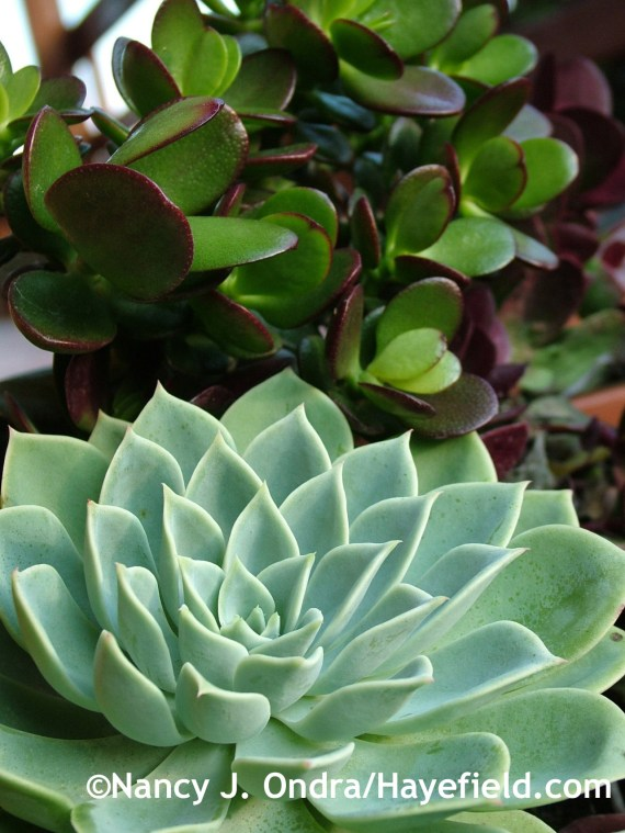 Echeveria 'Blue Atoll' with Crassula ovata 'Baby Jade' at Hayefield.com