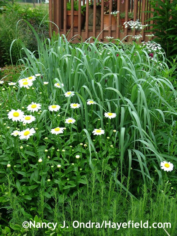 Panicum virgatum 'Dallas Blues' and Leucanthemum 'Becky' at Hayefield.com