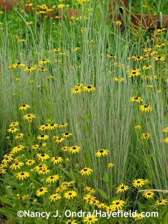 'The Blues' little bluestem (Schizachyrium scoparium), below with Rudbeckia fulgida var. fulgida at Hayefield.com