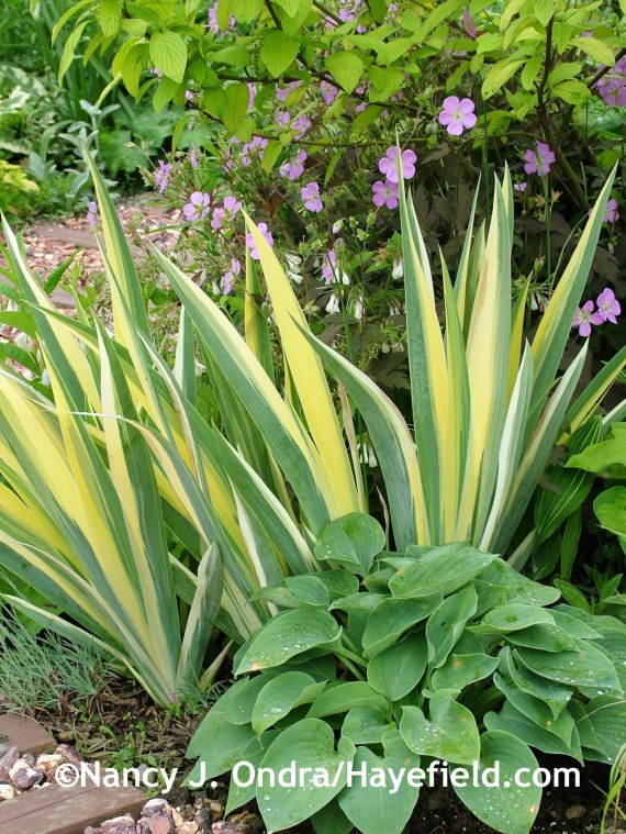 'Blue Cadet' hosta with variegated sweet iris (Iris pallida 'Variegata') at Hayefield.com