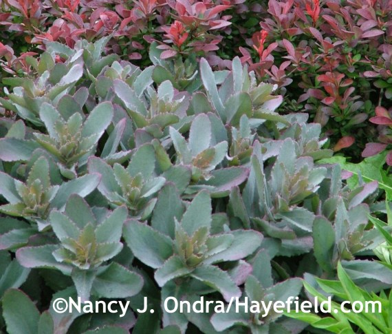 Sedum 'Purple Emperor' with Berberis 'Crimson Pygmy' at Hayefield.com