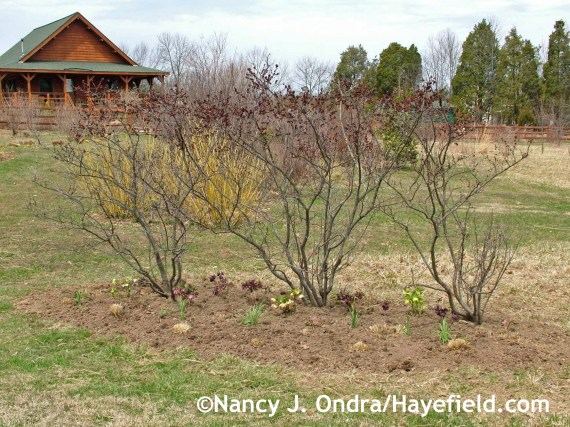 Winterberries underplanted with Amsonia, Galanthus, Helleborus, and Sporobolus in mid-April 2014 at Hayefield.com