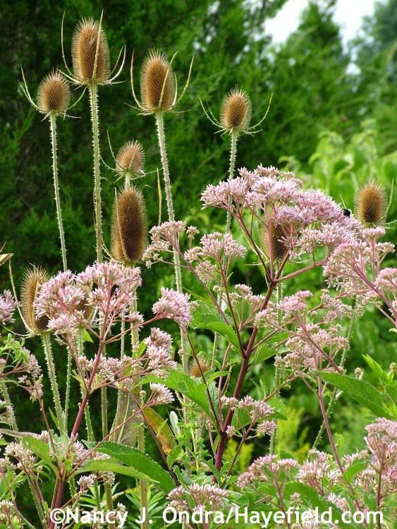 Eutrochium maculatum with Dipsacus fullonum in vertical format at Hayefield.com