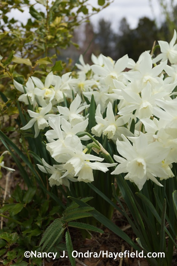 'Thalia' daffodil (Narcissus) at Hayefield.com