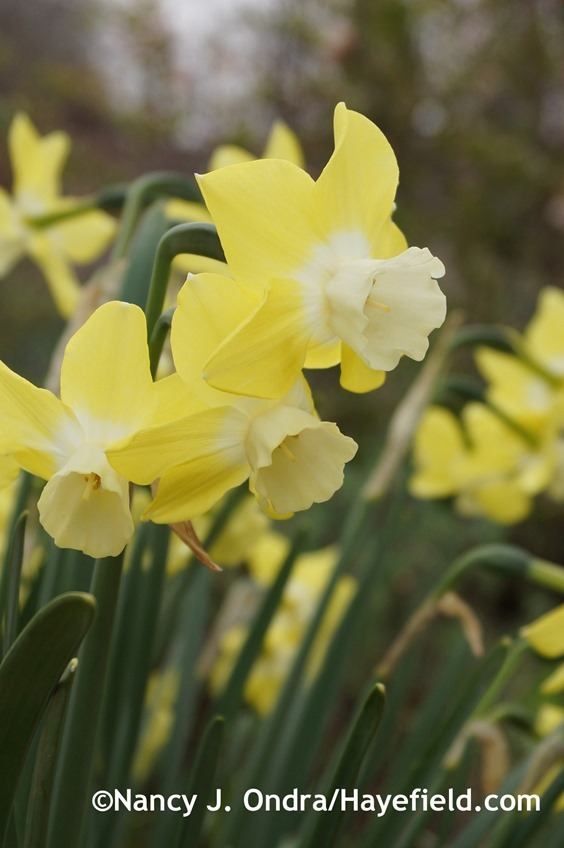 'Pipit' daffodil (Narcissus) at Hayefield.com