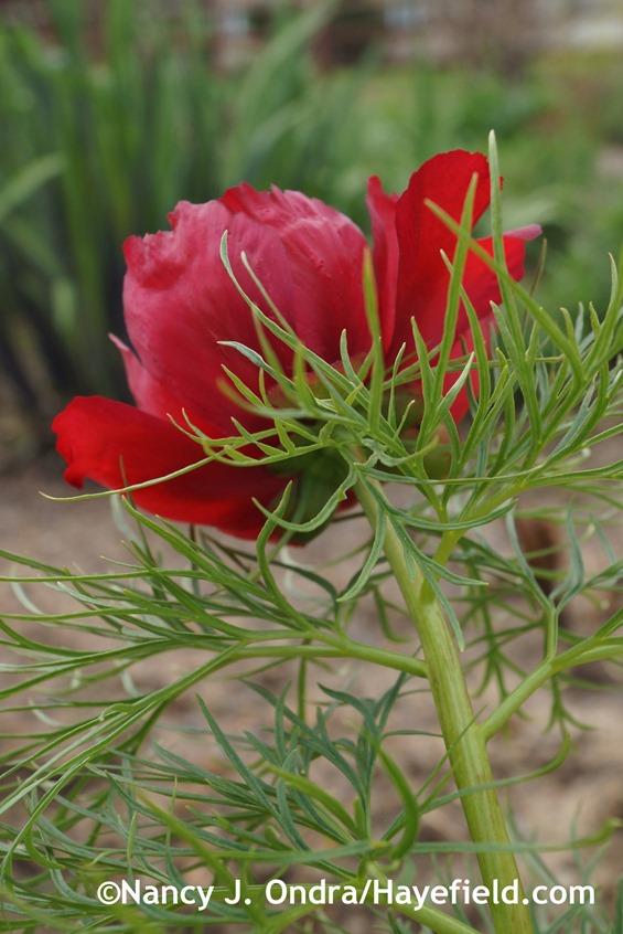 Fernleaf peony (Paeonia tenuifolia) at Hayefield.com