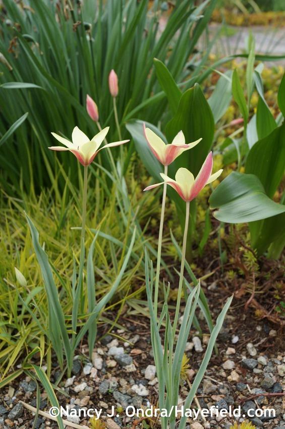 Tulipa clusiana 'Cynthia' at Hayefield.com