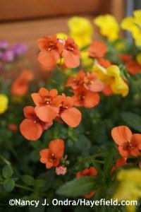 Diascia 'Dala Oran' [Flirtation Orange] at Hayefield.com