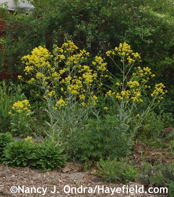 Dyer's woad (Isatis tinctoria) at Hayefield.com