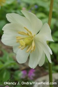 Podophyllum peltatum at Hayefield.com