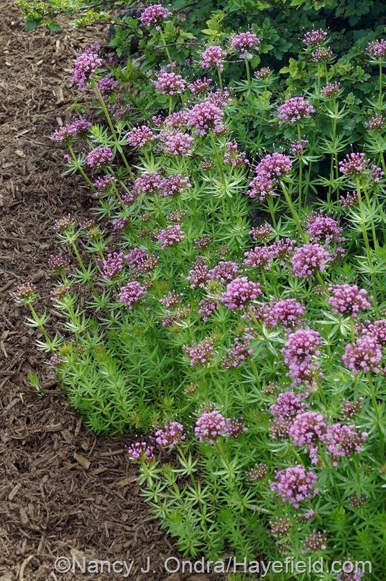 Crosswort (Phuopsis stylosa) at HAyefield.com