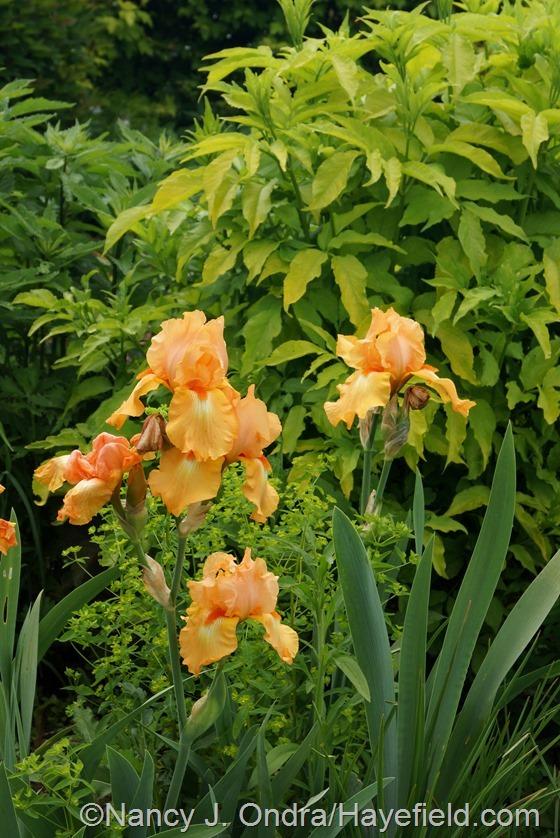 Orange bearded iris with 'Golden Foam' euphorbia and golden elderberry (Sambucus nigra 'Aurea') at Hayefield.com