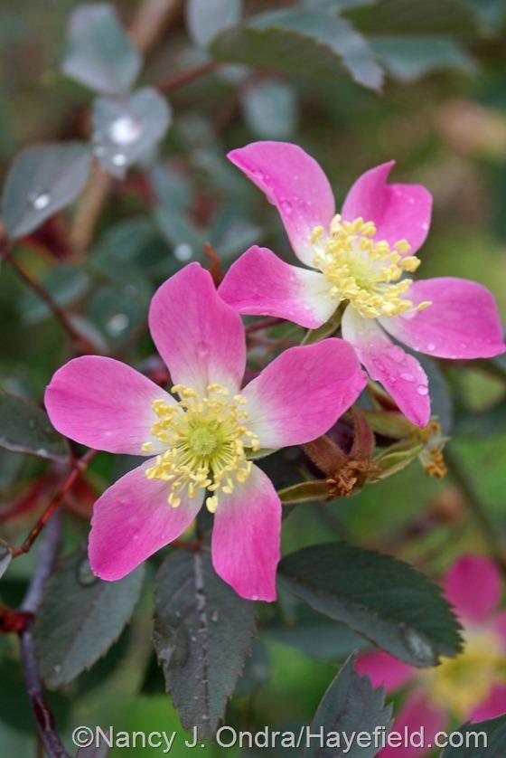 Rosa glauca at Hayefield.com