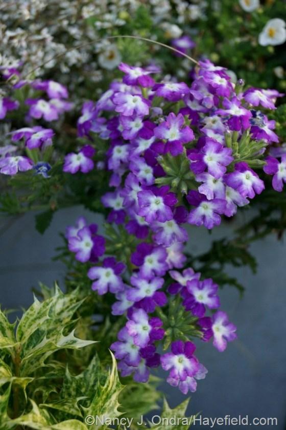 'Lanai Twister Purple' verbena [June 26, 2014] at Hayefield.com