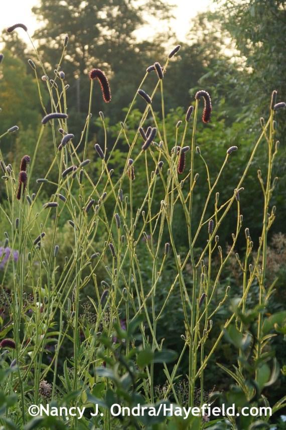 Purple Japanese burnet (Sanguisorba tenuifolia 'Purpurea') at Hayefield.com